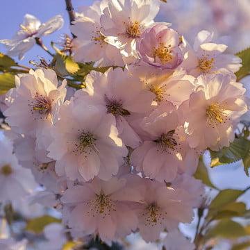 """Цвітіння сакури у парку """"Кіото"""", Київ"""