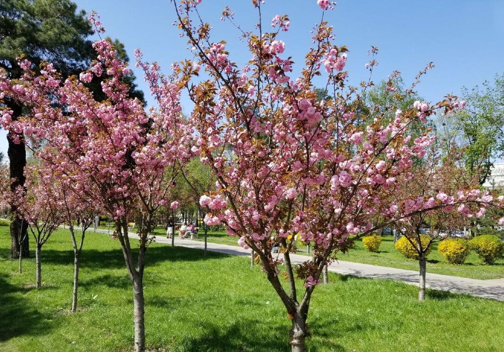 Цвітіння сакури в парку Кіото, Київ
