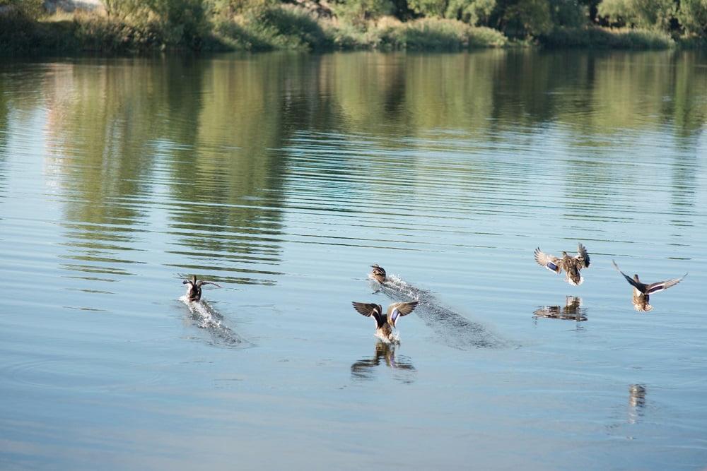 Качки на озері, Троєщина